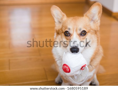 Welsh corgi pembroke dog holding a mask in his mouth, happy and looking to the camera, portait #1680595189
