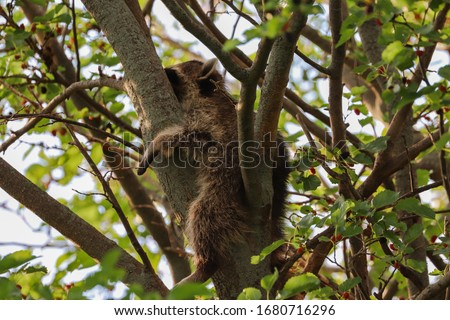Little raccoon sleeping up in a mulberry tree in the spring