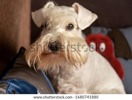 Pretty white miniature schnauzer at home close up #1680741880