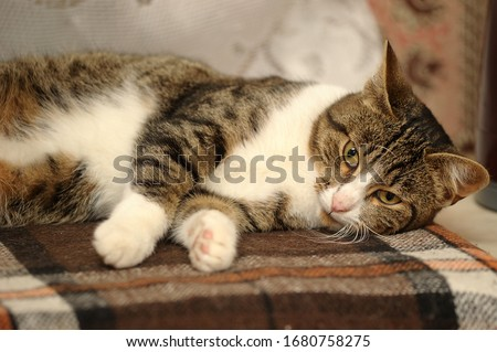 brown with white striped cat lies pleased #1680758275