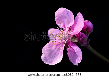 Japanese cherry blossom on black background. Isolated, in macro closeup with copy space.