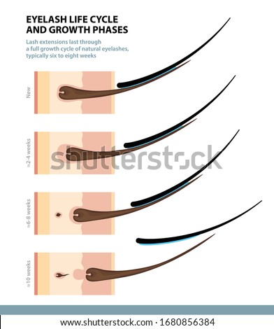 Eyelash Life Cycle and Growth Phases. How Long Do Eyelash Extensions Stay On. Macro Side View. Guide. Infographic Vector Illustration  #1680856384