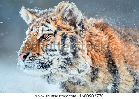 Side portrait of young Siberian tiger, Panthera tigris altaica,  male with snow in fur, walking in deep snow during snowstorm. Taiga environment, animal in freezing winter. #1680902770