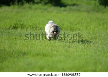 keeshond wolfspitz puppy running on green grass #1680908557