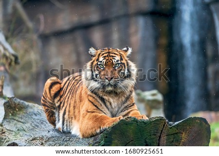 Tiger relaxing in the rain Royalty-Free Stock Photo #1680925651