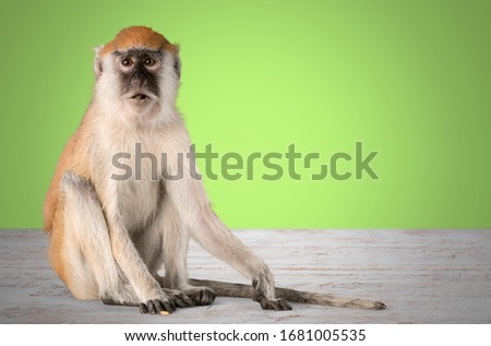 Cute small monkey animal on desk