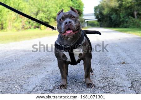 Blue Nose American Bully Pitbull