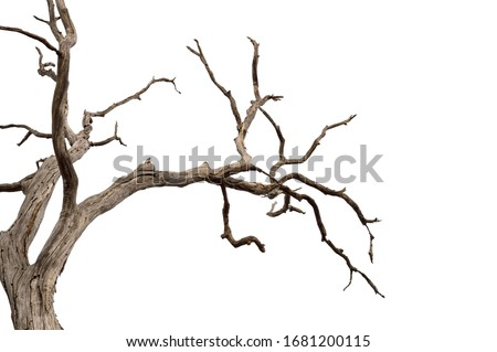 Dry branch of dead tree with cracked dark bark.beautiful dry branch of tree isolated on white background.Single old and dead tree.Dry wooden stick from the forest isolated on white background . #1681200115