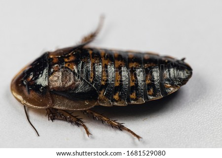 Study of the structure of Blaptica dubia, Dubia roach, also known as the orange-spotted roach in the laboratory.