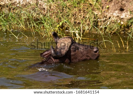 A  Cape Buffalo bull lies in the waters of the Kazinga Channel to cool off in the heat of the day as well as protecting from hungry blood sucking flies that plauge them at times #1681641154