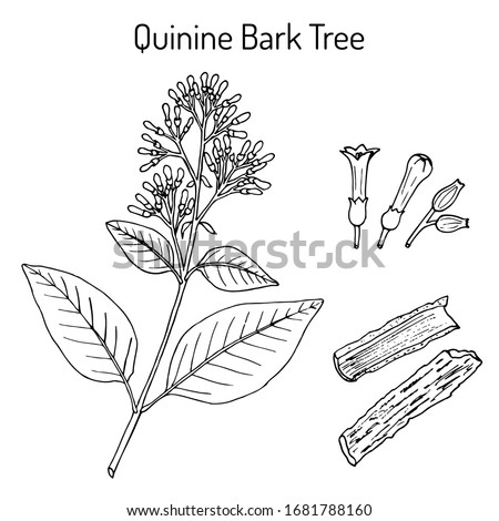 Quinine Bark Tree (Cinchona officinalis), medicinal plant. Hand drawn botanical vector illustration #1681788160
