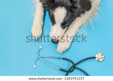 Puppy dog border collie and stethoscope isolated on blue background. Little dog on reception at veterinary doctor in vet clinic. Pet health care and animals concept. #1681992337