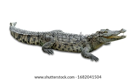 crocodile isolated on white background ,include clipping path Royalty-Free Stock Photo #1682041504