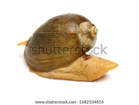 live conch on white background #1682104816