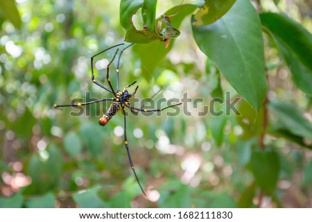 A black and yellow colour spider is photographed close up in the rainforest at Thailand, Black Widow Spider, macro picture,Natural background, colourful big and small spiders, copy space, spider wed