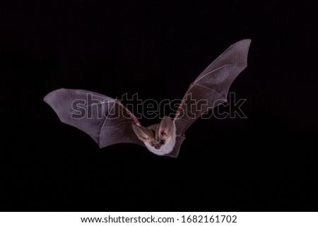 Long Eared Bat Night Flying Royalty-Free Stock Photo #1682161702