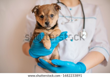 the vet in blue gloves holds a brown puppy. veterinary clinic, puppy disease Royalty-Free Stock Photo #1682233891