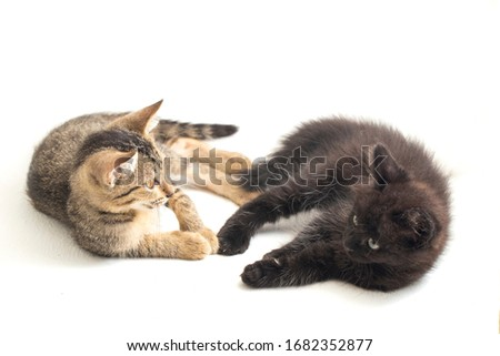 Beautiful domestic small brown gray cat and black cat playing isolated on a white background #1682352877