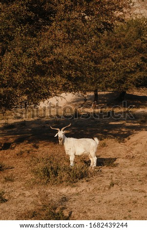 Flock of sheep and goat in the Uzbekistan mountains. Sunny summer scene in the mountain hill. Mountains in the sunset light.