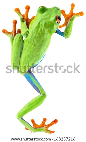 red eyed tree frog from tropical rainforest of Costa Rica isolated on white. Beautiful green and blue treefrog is an exotic animal from the rain forest. Agalychnis callidrias #168257216
