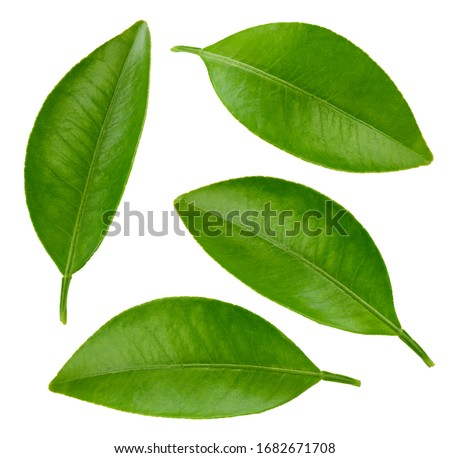 Leaf collection. Leaf citrus clipping path. Organic orange leaf macro studio photo. #1682671708