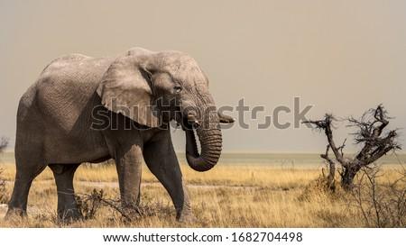 Elephants in the savannah, Etosha national park, Namibia Royalty-Free Stock Photo #1682704498