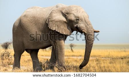 Elephants in the savannah, Etosha national park, Namibia Royalty-Free Stock Photo #1682704504