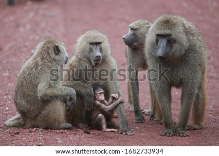 The olive baboon, also called the Anubis baboon, is a member of the family Cercopithecidae. The species is the most wide-ranging of all baboons, being found in 25 countries throughout Africa.