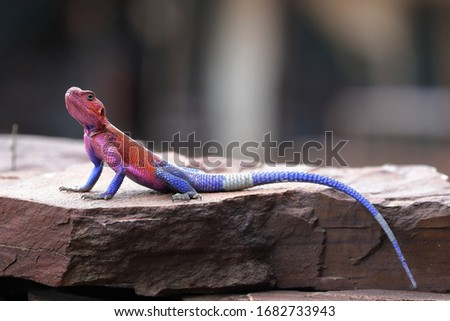 The common agama, red-headed rock agama, or rainbow agama is a species of lizard from the family Agamidae found in most of sub-Saharan Africa.  #1682733943