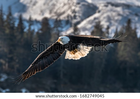 american bald eagle in flight against forested and snowy mountain background