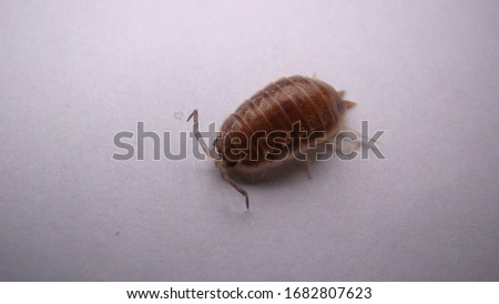Woodlouse , wood louse , woodlice , wood lice , slater on on white background . insect - close up . animal . wildlife . bug - wild nature