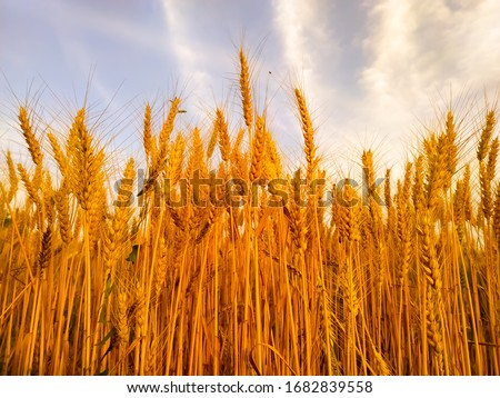 backdrop of ripening ears of yellow wheat field on the sunset cloudy orange sky background. Copy space of the setting sun rays on horizon in rural meadow Close up nature photo Idea of a rich harvest #1682839558
