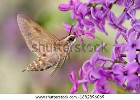 The hummingbird hawk-moth (Macroglossum stellatarum) macro photos while flying
