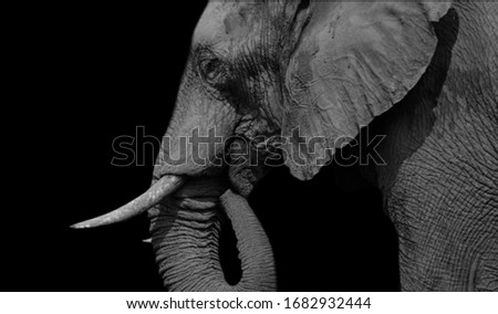 Biggest Elephant Eating On The Black Background