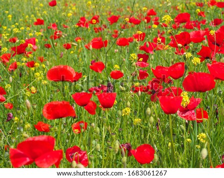 Floral background. Meadow with blooming red poppy flowers. Wild Poppies and yellow Rapeseed bloom in the field. Beautiful natural beauty and a excellent colorful design backdrop. Amazing nature. #1683061267