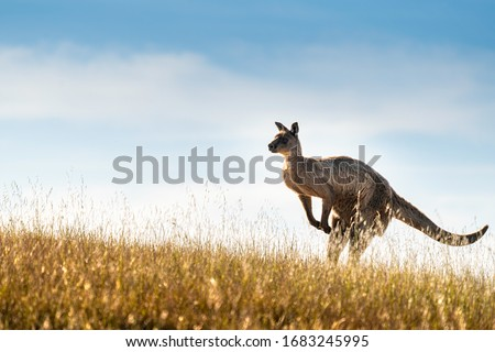 Kangaroo on Kangaroo Island, South Australia