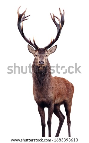 Mature Red Deer Stag isolated on white. Royalty-Free Stock Photo #1683393610