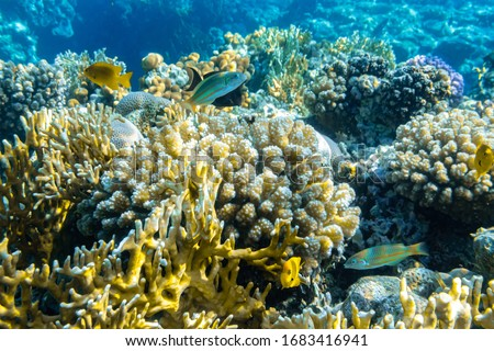 Colorful Thalassoma Pavo And Bright Yellow Tropical Fishes In The Coral Reef In The Ocean, Red Sea. Blue Turquoise Water, Different Types Of Hard Corals (Branching, Massive), Underwater Diversity. #1683416941