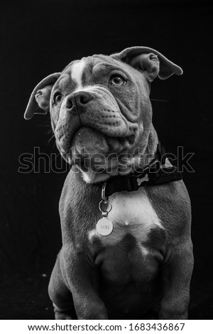 American pocket bull dog puppy #1683436867