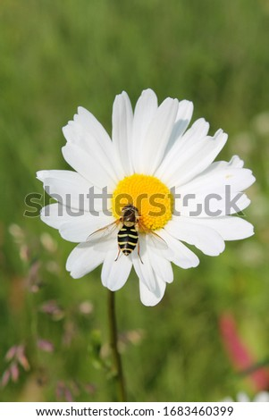 Picture of hoverfly sitting on oxeye daisy herb. Herbal medicine, tea and infusion, natural cosmetics ingredient. Ecological plant. Nature spring background