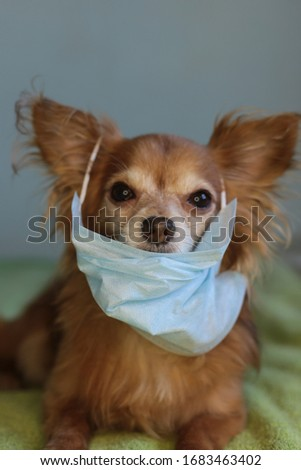playful ginger little dog chihuahua in a medical mask protects himself from the virus #1683463402