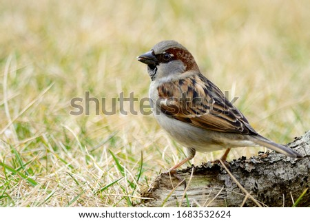 The House Sparrow (Passer domesticus) is a bird of the sparrow family Passeridae, found in most parts of the world. Male.