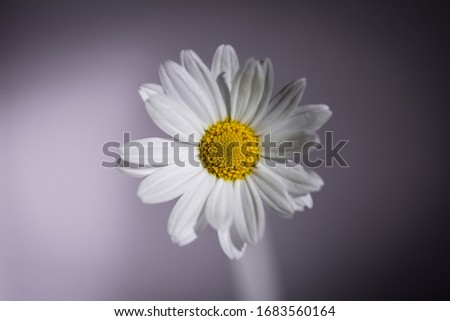 A single Oxeye daisy, Leucanthemum vulgare, daisies, Common daisy, Dog daisy, Moon daisy flower head on a soft purple background. #1683560164