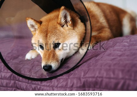 Cute sad shiba inu dog with protective collar at home, beautiful puppy #1683593716