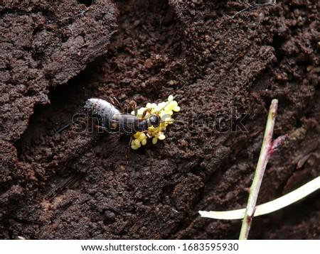 Female Earwig protecting her eggs. Dark brown earwig with yellow eggs.