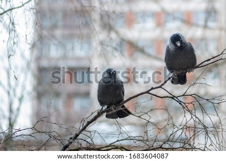 Two western jackdaws (Coloeus monedula) are sitting on tree branch and looking at you. Close-up portrait of two black plumage  birds with blurred  big building on the background . Spring in the city. #1683604087