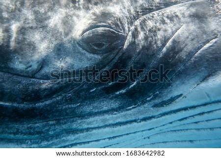 Eye of humpback whale very close