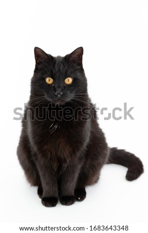 Beautiful black cat poses on a white background