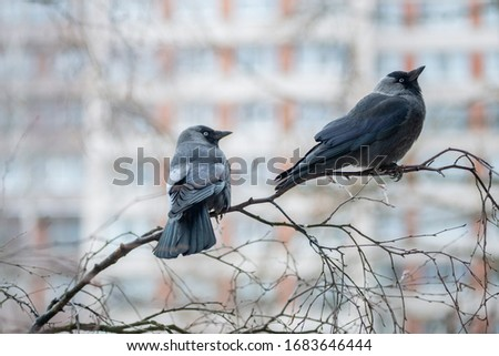 Two western jackdaws (Coloeus monedula) are sitting on the birch branch.  Close-up portrait of two black plumage  birds with blurred  multistory building on the background . Spring in the city. #1683646444