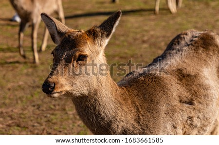 A close-up picture of one of the sika deers that roam the Nara Park (Nara).